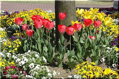 春の花壇に映える 並んだ赤いチューリップの花