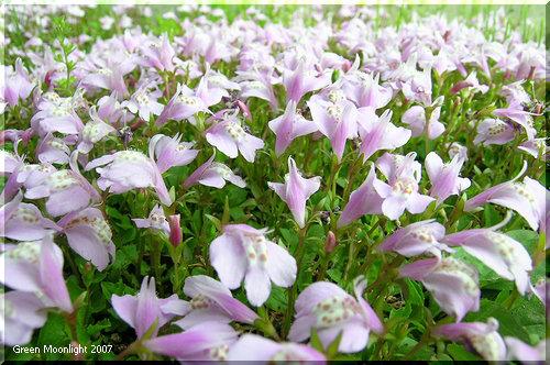 匍匐枝を出して地面に拡がる ムラサキサギゴケ(紫鷺苔)