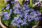 大きめの鉢を埋め尽くすように咲く 小さなシシリンチウム