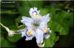 遅い春に山道の斜面を覆うように咲く淡い紫の花 シャガ
