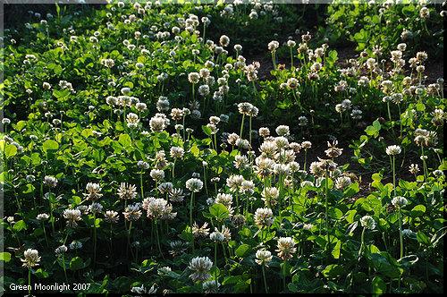 皆なで探した四つ葉のクローバー シロツメクサ(白詰草)