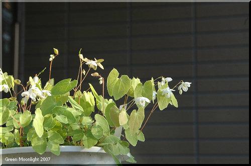 慎ましやかに白い花を付ける バイカイカリソウ(梅花錨草)