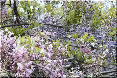 日本全国に増えていった「野田玉川の藤」の末裔たち
