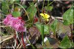 鮮やかなピンクの不思議な花 区別が難しいコイワカガミ