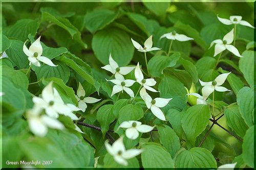 平坦で大きな白い総包片が緑の葉に映える ヤマボウシ