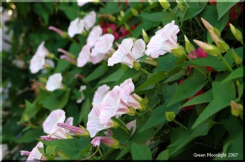 繁殖力と生命力の強さがにじみ出るコヒルガオの小さな花