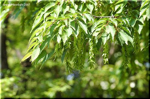 明るい緑色の葉の陰で目立たない果穂を付けるイヌシデ