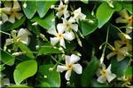 キョウチクトウ科のジャスミン 強い香りのケテイカカズラ