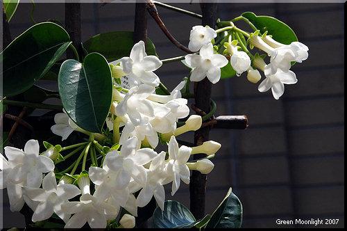 蟻も大好きな輝く白い花の芳香 マダガスカル・ジャスミン