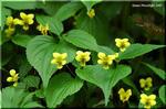 山吹色の力強い花を咲かせる雪国の菫 オオバキスミレ