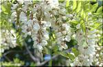 やせた土地でも育ち、綺麗な花を咲かせる ニセアカシア