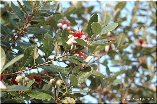 赤いブラシの毛に似た蘂 桜貝のような花 フェイジョア