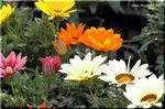 比較的大きくて丸い花 勲章菊の別名を持つガザニア