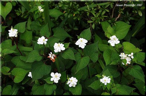 妙にかわいい 漢方に処方される雑草 八重咲きドクダミ