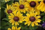 公平のシンボルとされたと言う丸い花の形状 ルドベキア