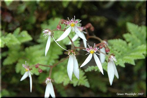 しっかり観察して欲しい可愛くてユニークな花 ユキノシタ