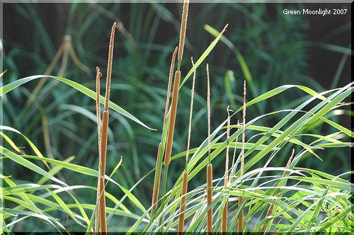 休耕田のキリタンポ 大量のタネを飛ばすヒメガマ(姫蒲)
