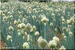 情遠くで見ても近づいて見ても面白い ネギの花「葱坊主」
