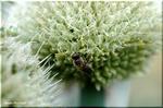遠くで見ても近づいて見ても面白い ネギの花「葱坊主」