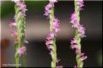 可愛くて小さいカトレア風の花が巻き付いているネジバナ