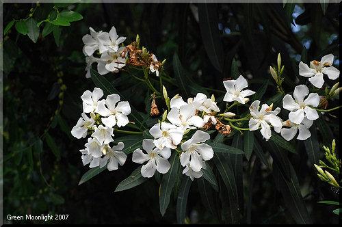 身近にある有毒植物! 美しいキョウチクトウ(夾竹桃)