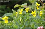 夏の亜高山に咲く黄色い面長すみれ キバナノコマノツメ