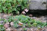 可憐な紅色 「高山植物の女王」と称されるコマクサ(駒草)
