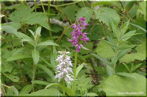 この美しい蘭は栽培困難 やはり野に置け ハクサンチドリ