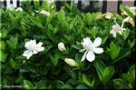 花たちは何のために芳香を放つのでしょうか クチナシ