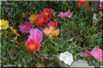 炎天下でも元気に花を咲かせるカラフルなポーチュラカ