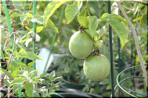 卵のようなツルンとした果実も可愛い トケイソウ(時計草)