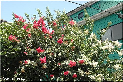 多彩で花期が長い 丈夫な夏の定番 サルスベリ(百日紅)
