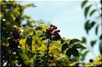 小粒でぴりりと辛いという和風の香辛料 サンショウ(山椒)