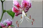 在るがままに置きたい美しい花 カノコユリ(鹿の子百合)