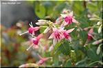 ピンクの繊細な花を咲かせるフクシア'ファンタジーワルツ'