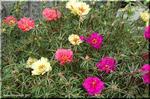真夏、灼い地面を覆うように花を咲かせるマツバボタン