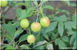 ほっぺが赤くてかわいい 人気のヒメリンゴ 「長寿紅」