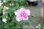 柔らかい花を咲かせるムクゲ 'パープル・ルージュ'
