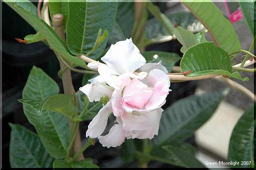 魅惑の八重咲きマンデビラ 'ロージー・センセーション'