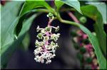 徐々に毒々しさを増す大型の毒草 ヨウシュヤマゴボウ