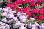まだまだ毎日咲き続けている愛嬌のある花 ニチニチソウ