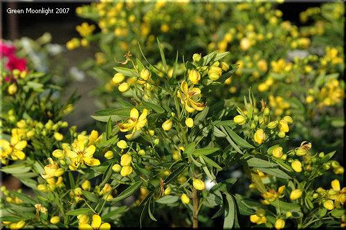 明るくて小さな黄色い花 ハナセンナ「アンデスのオトメ」