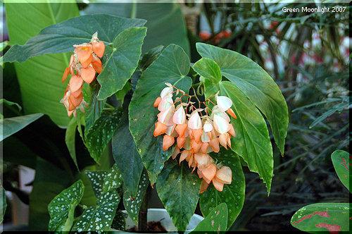 多彩なベゴニアの中で異彩を放つ品種「オレンジ・ルブラ」