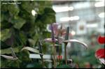 深めの鉢で秋の窓辺に置きたい アンスリウム 'バレノ'