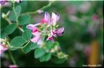 野山や荒れ地にも元気に育つ秋の七草 ヤマハギ(山萩)