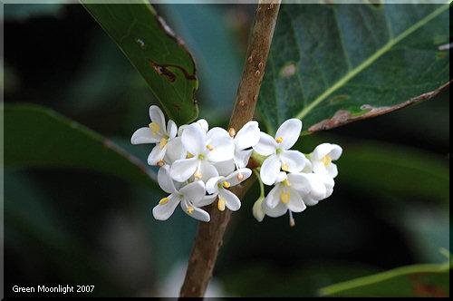 白い花色が控えめな銀木犀 水仙に似た芳香が清々しい