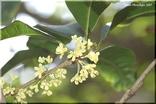 芳香が弱く、全体に大人しい印象を与えるウスギモクセイ