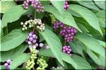 緑の実が熟して可愛い紫の実に変身! コムラサキシキブ