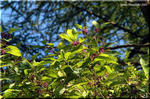 紫色の丸い実がまばらに付く ムラサキシキブ(紫式部)