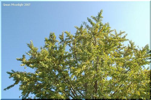 孤高の生ける化石 樹上で黄金色の実を輝かせる銀杏